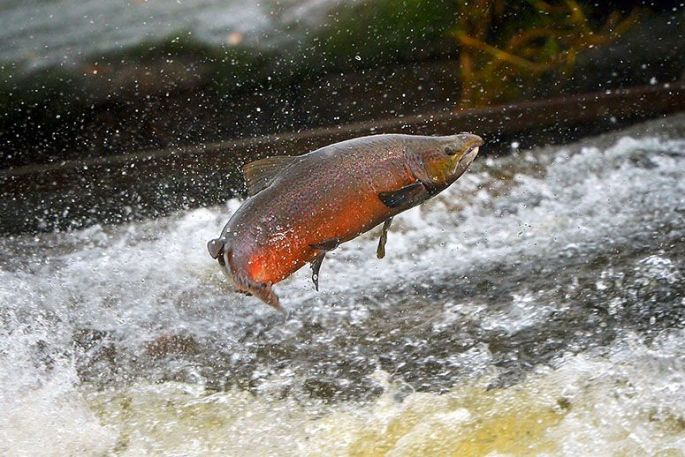 SalmonJumping